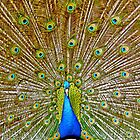 Peacock  FanTail Display by philipclarke