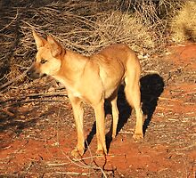 Ringo the Dingo by Rosdenphoto