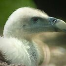 Determined ~ Vulture portrait by steppeland