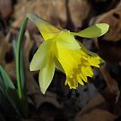 First Daffodil, 2013 by WildestArt