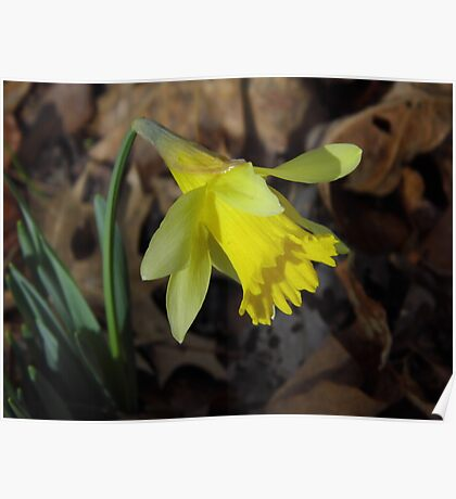 First Daffodil, 2013 Poster
