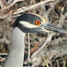 Yellow crowned night heron by Dennis Cheeseman
