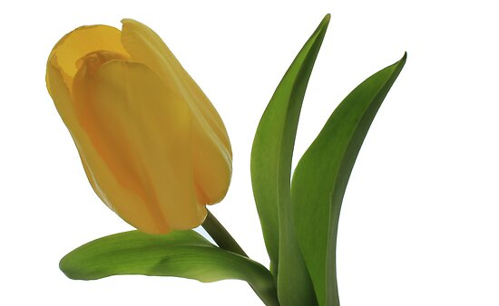 Bright Tulip by Lynn Gedeon