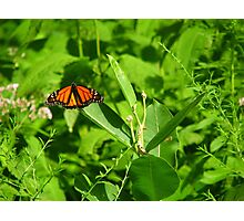 Another Monarch Photographic Print
