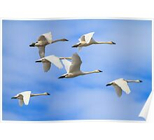 Tundra Swans: February Rest Stop Poster