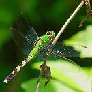 Green Dragon(fly) by Grinch/R. Pross