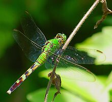 Green Dragon(fly) by Grinch/R. Pross