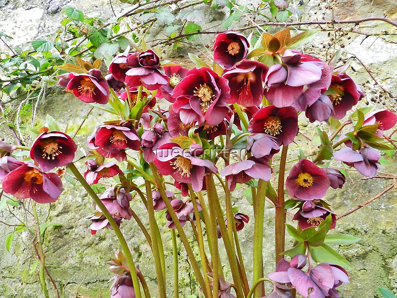 A whole bunch of beautiful Helleborus! by weecritter