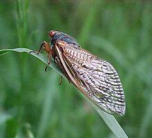 Cicada by RedBudRun