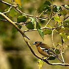 Chaffinch in Tree by Jennifer Vollebregt