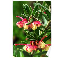 Woolly Grevillea. Poster