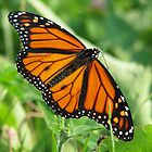 Monarch Butterfly by AriannaRenee