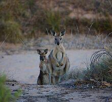 Curious Kangaroos by KerryCronje