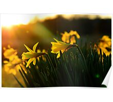 Sunset Daffodils Poster