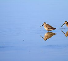 Long-billed Dowitchers by John Williams