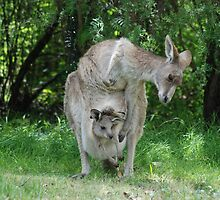 "Mother kangaroo and ""in pouch"" joey  by unstoppable"
