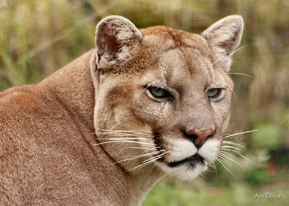 Puma / Mountain Lion  by AnnDixon