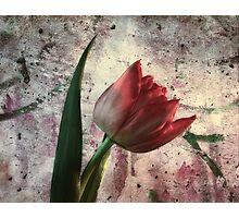 asia tulip Photographic Print
