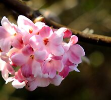 Pink Cherry Blossom by Lorna Taylor