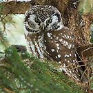 Boreal Owl by Bill McMullen
