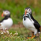 Atlantic puffin by Sebastian Wasek
