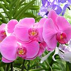 Pink Orchids by kchase