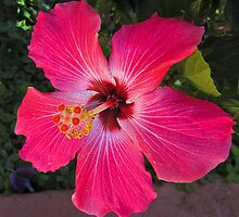hibiscus, El Salvador by David Chesluk