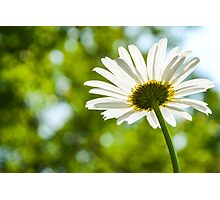 Spring Daisy Photographic Print