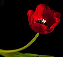 Red Flower by Peter Shugart