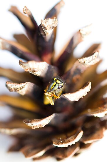 Pinecone Wasp by Shelly Still