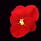 Scarlet on Black - Cute Red Pansy by kathrynsgallery