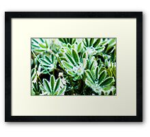 Water Drop on Lupin Leaves Framed Print
