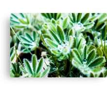 Water Drop on Lupin Leaves Canvas Print