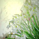 Snowbells by Kenneth Hoffman