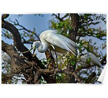 Preening Great Egret Poster