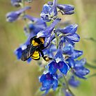 Bumble Bee On Larkspur by Diana Graves Photography
