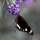 Hunter Valley Butterfly ~ 2 by Emma  Wertheim