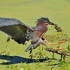 Green Backed Heron On The Hunt by Kathy Baccari