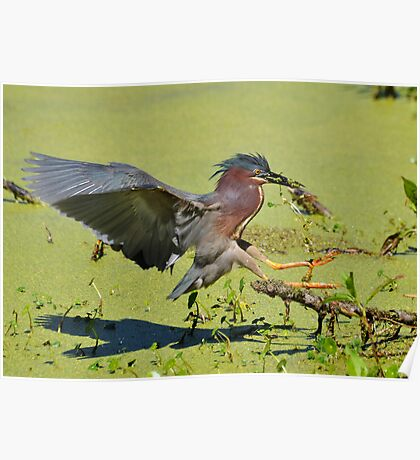 Green Backed Heron On The Hunt Poster
