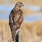 Red-tailed Hawk: T-Post Perch by John Williams