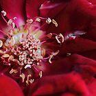 Heart of a Rose by yolanda