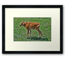 Buffalo calf  Framed Print