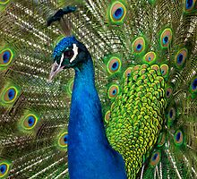 Peacock close up by Henry Jager