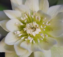 White Hellebore Flower by simontait