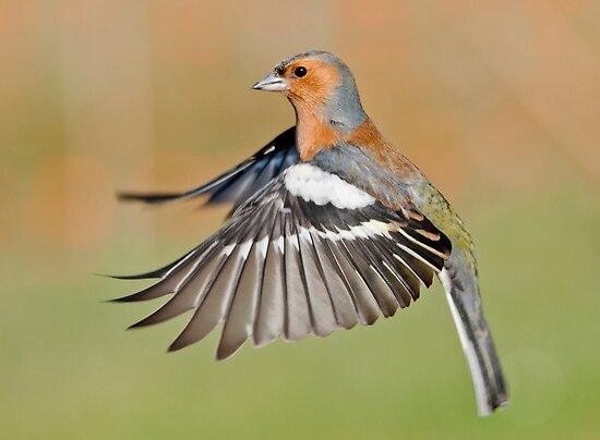 Chaffinch in flight by M.S. Photography/Art