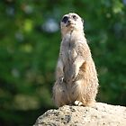 Puzzled Meerket by Menddles