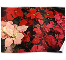 Crimson Red Poinsettia Christmas Holiday Flowers Poster