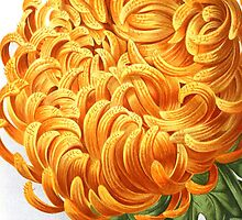 Large Orange Chrysanthemum Flower by RedPine