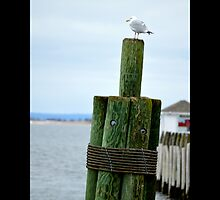 Larus Delawarensis - Ring-Billed Gull At Harbor - Port Jefferson, New York by © Sophie W. Smith