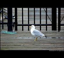 Larus Delawarensis - Ring-Billed Gull At The Dock - Port Jefferson, New York by © Sophie W. Smith